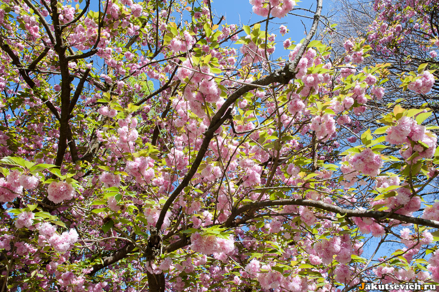 В апреле на вилла Боргезе в Риме цветут деревья
