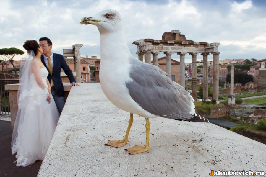 Чайка в Риме участвует в свадебной фотосессии