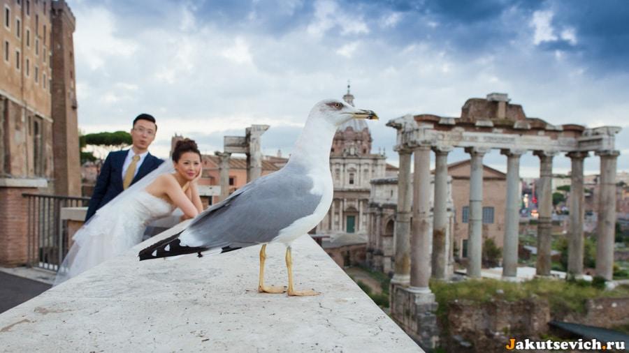 Римская чайка, жених и невеста.